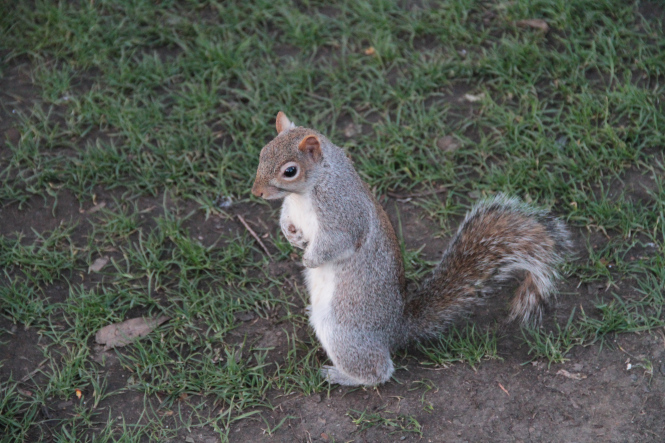 Squirrel in St. James Park